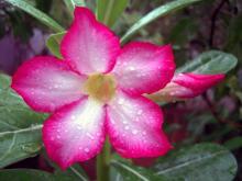 Цветок адениума