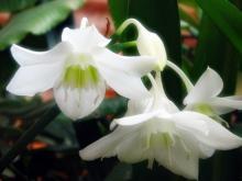 Прекрасный цветок эухариса