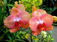 Оранжевые орхидеи