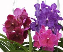 Разноцветная орхидея
