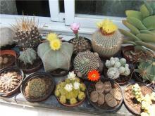эриозице с другими кактусами