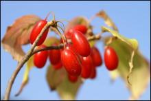 ягоды кизила