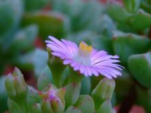 цветок оскулярии
