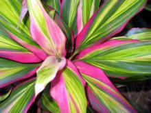 Яркость красок кордилины