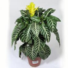 Одиночное растение афеландры