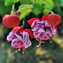 Красивый цветок фуксии