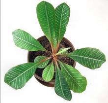 Молочай - полосатые листья