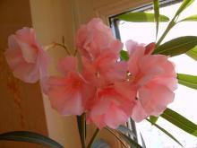 Розовый цветок олеандра