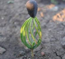 Кедр из орешка